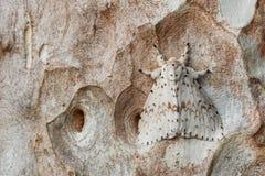 White moth on tree bark. White moth hiding on tree bark Stock Photography