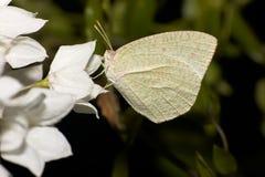White moth on white flower Stock Photography