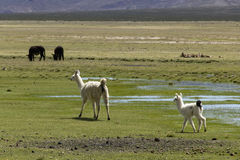 White mother and baby lama. On the grass on the altiplano in Bolivia Stock Photo