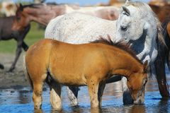 White mother horse and foal drinking water. On the watering place royalty free stock images