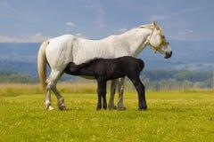 White Mother horse nurse black foal Royalty Free Stock Photo