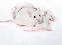 White mother mouse with three pups stock photos