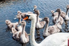 Swan with cygnets or baby swans Royalty Free Stock Photography