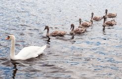 Swan with cygnets or baby swans Royalty Free Stock Photos