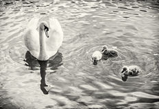 White mother swan swim with her youngs, colorless Royalty Free Stock Photo