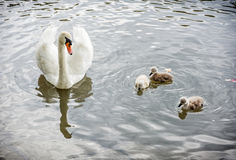 White mother swan swim with her youngs Stock Image