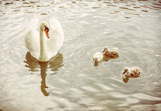 White mother swan swim with her youngs, yellow filter Royalty Free Stock Photo