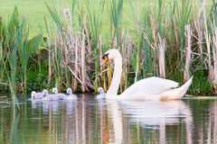 White mother swan swimming with chicks Stock Images
