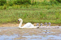 White mother swan swimming in line with youngs Stock Photo