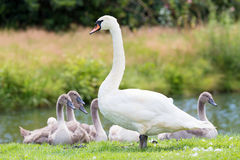 White mother swan with young chicks Stock Images