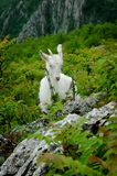 White mountain goat. Eating grass Stock Photos