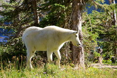 White Mountain Goat Royalty Free Stock Photo