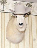 White Mountain Goat head wearing a cowboy hat. A white mountain goat head wearing a cowboy hat is mounted on a wall.  He is staring straight at the camera.  The Stock Photos