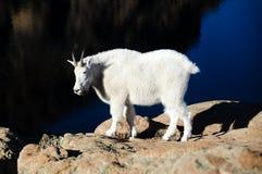 White mountain goat Stock Photo