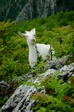 White mountain goat. Eating grass Royalty Free Stock Photography
