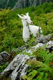 White mountain goat. Eating grass Royalty Free Stock Photo