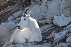 White Mountain Goat in wilderness. Enchantment Lakes near Leavenworth and Seattle, WA royalty free stock photography