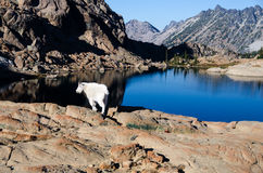 White mountain goat in the wilderness. Mountain goat on a rock overlooking a clear blue lake royalty free stock photos