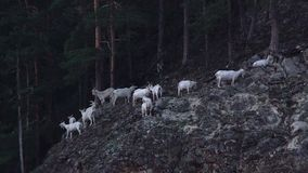 White Mountain Goats on the mountain forest stock video