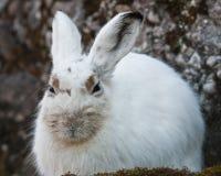 White mountain hare royalty free stock photos