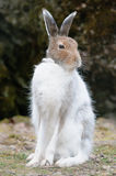 White mountain hare (lat. Lepus timidus) Stock Image