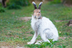 White mountain hare (lat. Lepus timidus) Royalty Free Stock Image