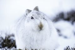 White mountain hare lepus timidus. Sitting on winter snow in Scotland in the cairngorms, these animals are very hard and survive in arctic temperature and snow royalty free stock images