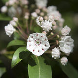 White Mountain Laurel Blossoms. White Laurel blossom in the Catskill Mountains of New York State near Haines Falls stock images