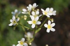 White Mountain saxifrage Stock Image
