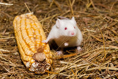 White Mouse. White Lab Mouse on corn cob, in a laboratory royalty free stock photography