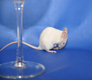 White mouse. Behind a glass stock images
