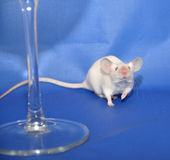 White mouse. Behind a glass royalty free stock images