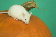 White mouse. My white mouse on apumpkin Stock Image
