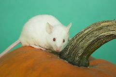 White mouse. My white mouse on a pumpkin Royalty Free Stock Images