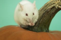 White mouse. My white mouse on a pumpkin Royalty Free Stock Image