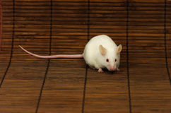 White mouse. Close-up of a white mouse on a straw mat Royalty Free Stock Images