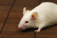 White mouse. Close-up of a white mouse on a straw mat Stock Image