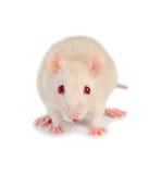 White mouse. Mouse isolated on white background stock photo