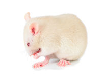 White mouse royalty free stock photography