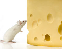 White Mouse Royalty Free Stock Photos