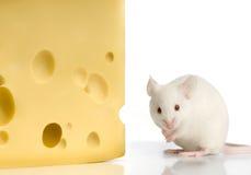 White Mouse Royalty Free Stock Photo