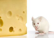 White Mouse. In front of a white background royalty free stock images