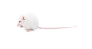 White mouse. Isolated on a white background Royalty Free Stock Images