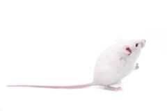 White mouse. Isolated on a white background Stock Photo