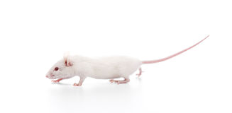 White mouse Stock Photos
