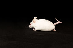 White mouse on black fabric. White mouse with red eyes crawling on dark fabric on a black background Stock Photos