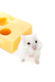 White mouse and cheese Stock Photo