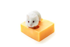 White mouse and cheese Royalty Free Stock Images