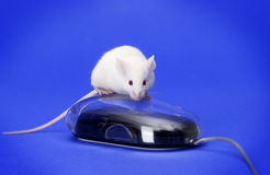White mouse on a computer mouse Stock Photo