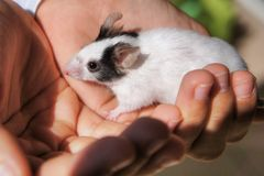 White mouse held in kid`s hands stock images